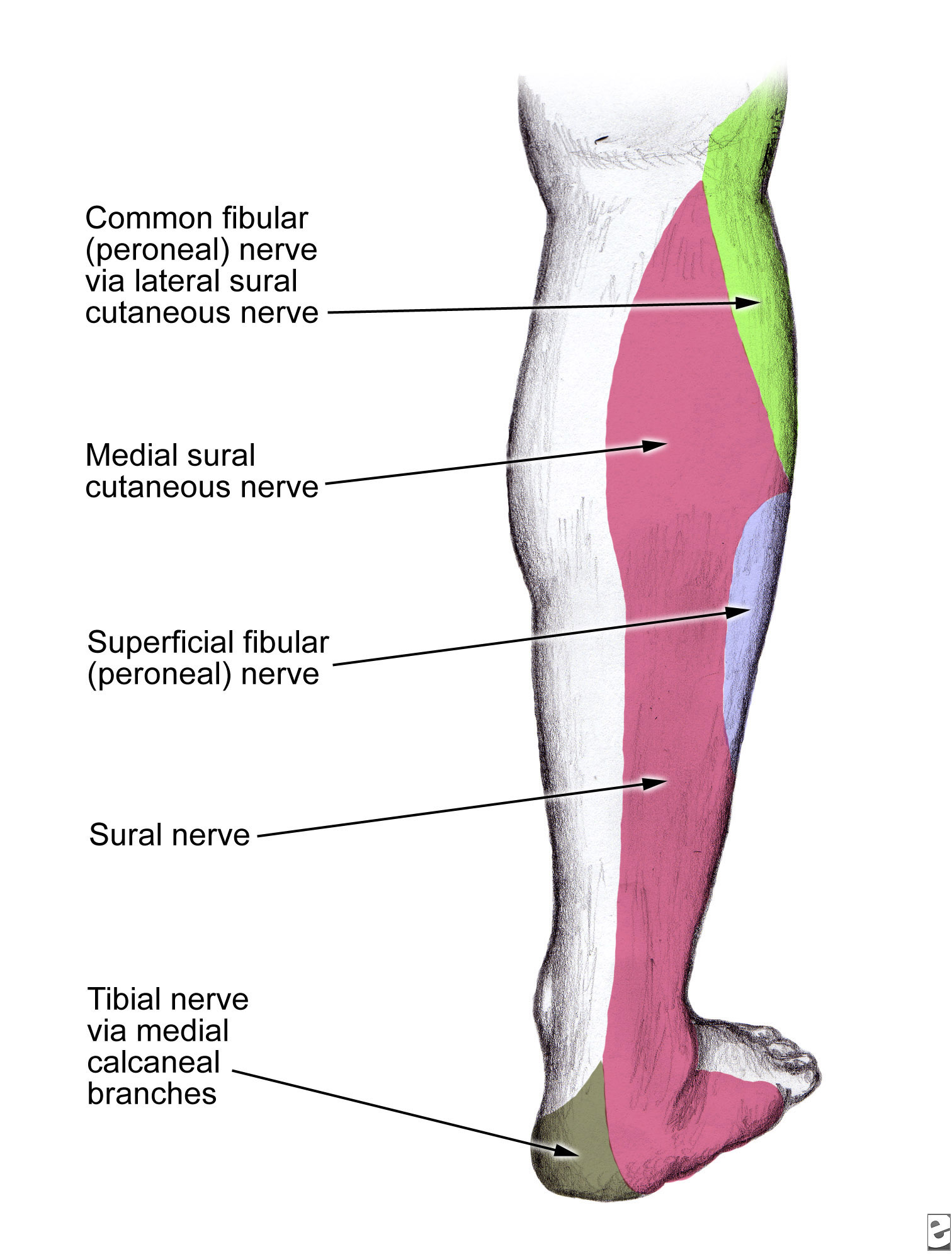 Image result for sural nerve