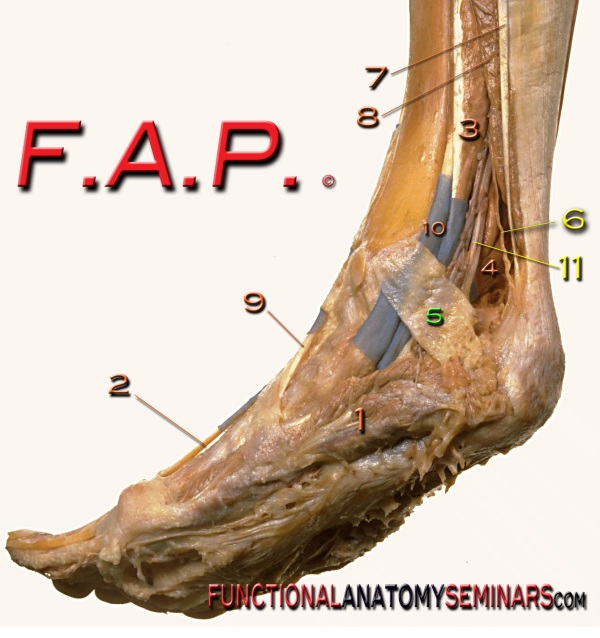 Anatomy Quiz The Medial Ankle And Foot Functional Anatomy