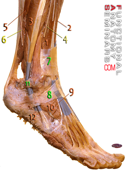 Anatomy Quiz The Lateral Ankle Functional Anatomy Seminars