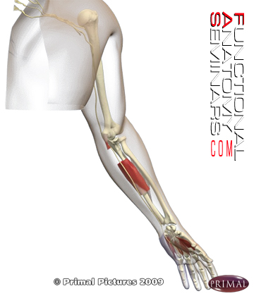 Anatomy Review The Ulnar Nerve Functional Anatomy Seminars