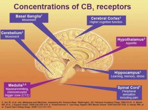brain cannabis
